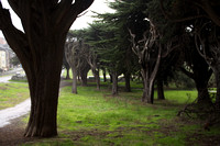 Trees of the presidio